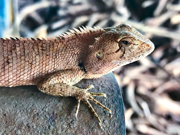 Thai chameleon Reptile One Animal Iguana Close-up Animals In The Wild Lizard Animal Wildlife Animal Themes Bearded Dragon Day Focus On Foreground Outdoors No People Nature Chameleon