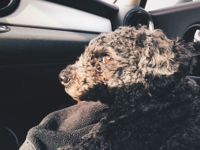 Close-up of toy poodle relaxing in car