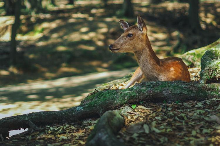 Deer resting in forest
