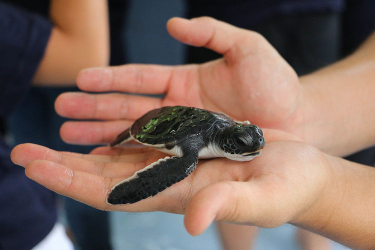 Cropped Image Of Hand Holding Small Tortoise