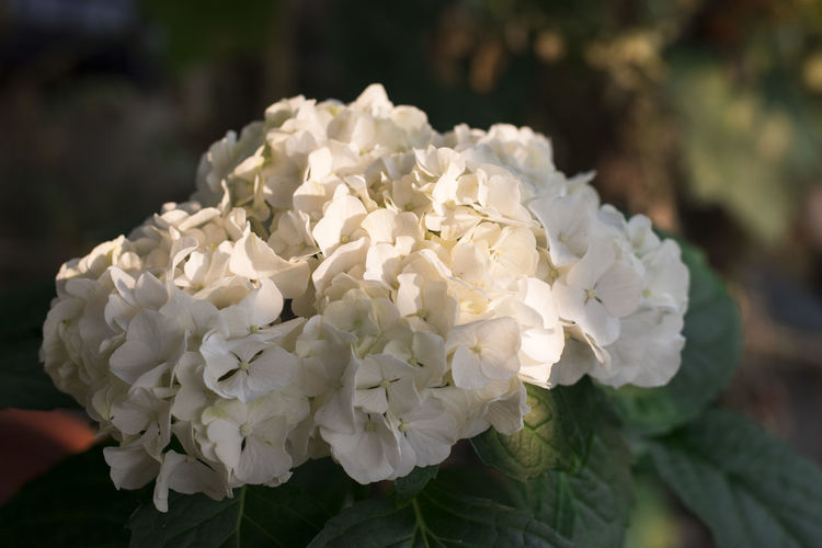 Flower Flower Flowering Plant Beauty In Nature White Color Close-up Plant Freshness Petal Inflorescence Fragility Vulnerability  Growth Flower Head Focus On Foreground Nature No People Day Outdoors Hydrangea Botany Bunch Of Flowers
