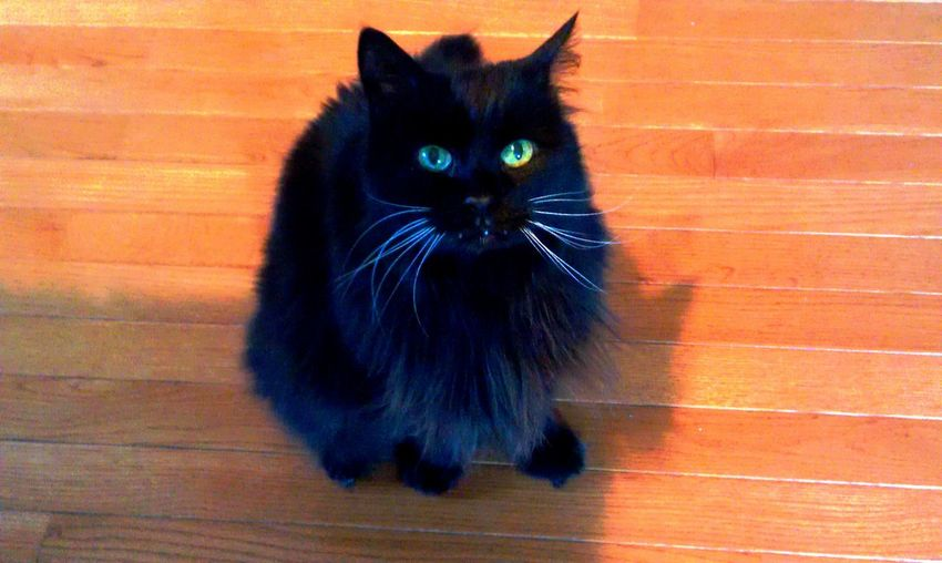 Black Cat Is Just So Beautiful. Black Cat White Whiskers Cat Model Cat Portrait Cats In The Sun Green Eyed Cat Senior Cat Yellow Eyed Cat Long Haired Cat Feline Eyes Contrast Colors Intensity Feline Portraits Cat Eyes Feline Love Feline Photography, Stunning Look Cat Lovers Color Contrast Cat Photography