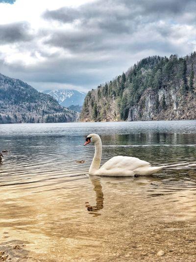 Swan swimming on lake against mountains