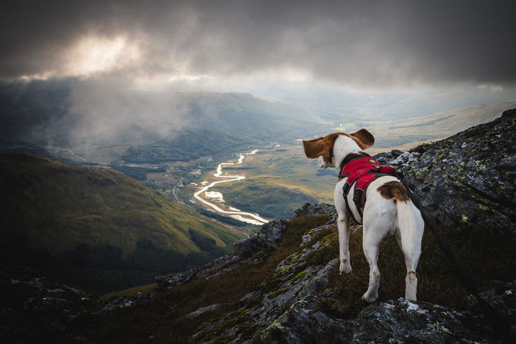 Beagle looking out at dramatic mountain view Ben More Cloud Crianlarich Mountain View Scotland Adventure Beagle Dog Highlands Landscape One Animal Outdoors