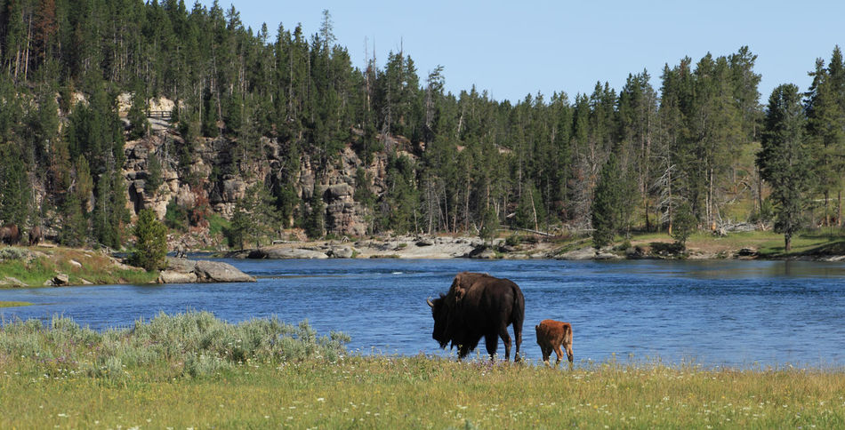 Animal Themes Beauty In Nature Bison Calve Landscape Nature No People One Animal Outdoors Scenics Tranquil Scene Tranquility Travel Destinations USA USAtrip Wild Wild Bison Wilderness Wilderness Area Wildlife & Nature Wildlife Photography Yellowstone Yellowstone National Park Yellowstone River Yellowstone Wildlife