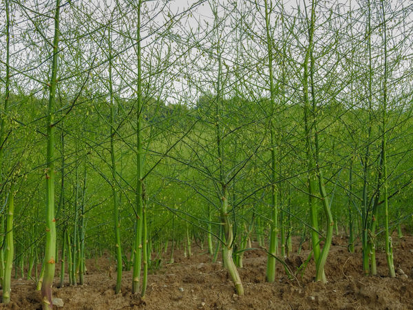 Austrieb Feld Spargelfeld Asparagus Beauty In Nature Day Field Forest Green Color Growth Grün Landscape Nach Der Ernte Nature No People Outdoors Scenics Spargel Tranquility Tree