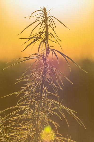 Cannabis Drug Beauty In Nature Cure Growth Marijuana Nature Outdoors Sky Sun Sunset Thc