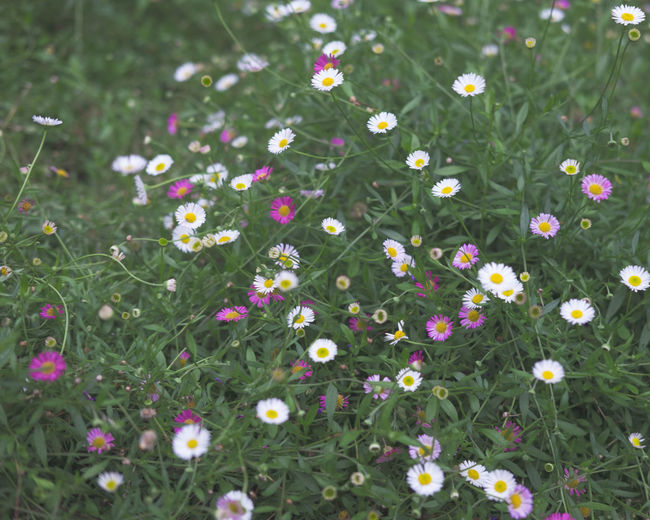 Flowers blooming in meadow