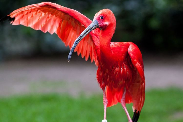Close-up of scarlet ibis perching on field