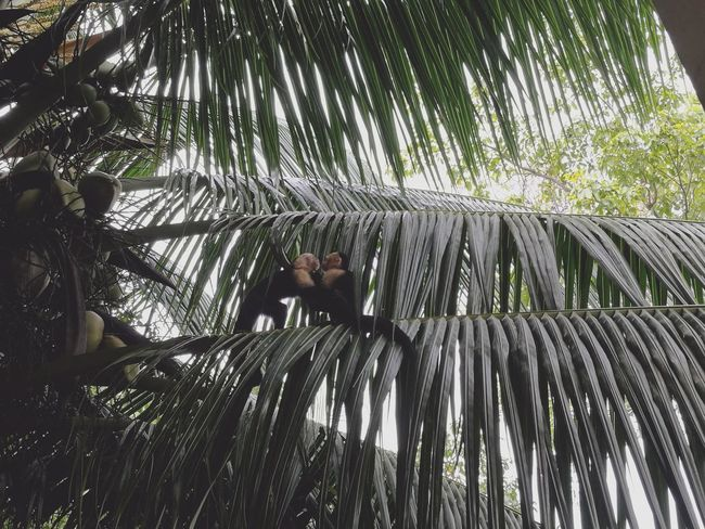 Monos Monos Monkeys Monkey Mature Palm Tree Palms Coconut High Angle View High Life Love In Nature Monkeys Love Beuty Of Nature Couple Costa Rica 🇨🇷 Manuel Antonio National Park Costa Rica 🇨🇷 Perfection Plant Animal Wildlife Animals