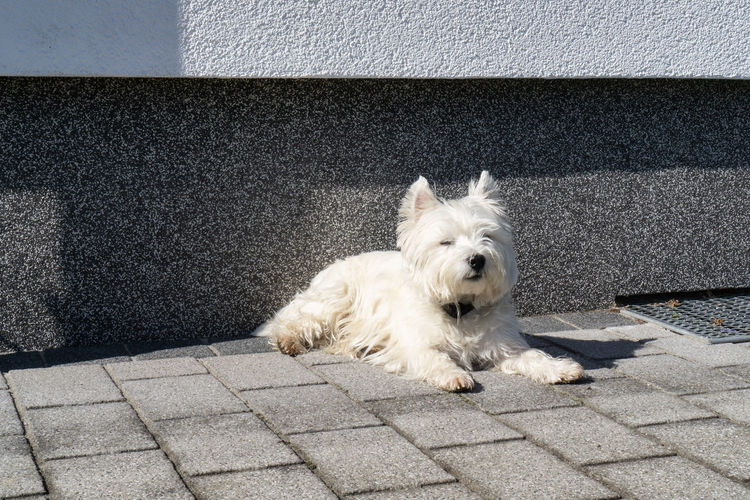 West Highland White terrier lies outside in the sun on the flagged floor Dog White Pet West Highland Terrier Animal Outdoors Sunbathe Flagged Floor Sunshine Portrait Fur Breed Friend Best  Cute Stone Slabs Domestic Pets One Animal Domestic Animals Mammal Canine Vertebrate No People West Highland White Terrier Footpath Day White Color Looking At Camera Sidewalk High Angle View
