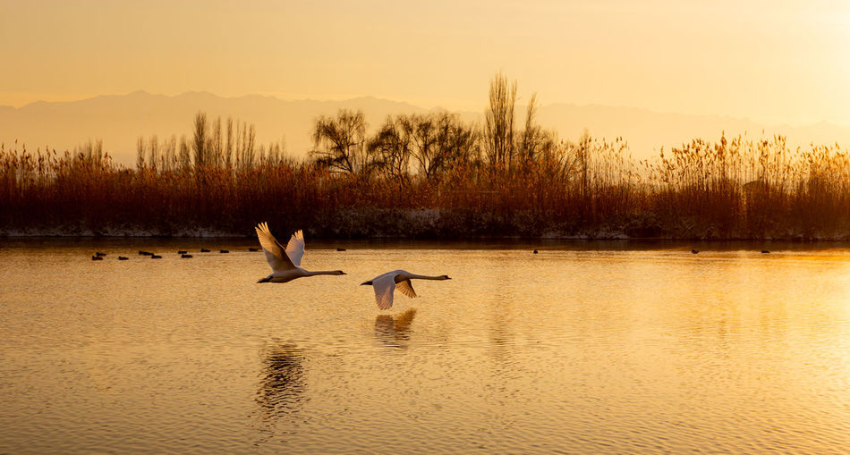 Animals In The Wild Water Animal Wildlife Animal Animal Themes Vertebrate Bird Lake Group Of Animals Flying Sky Sunset Beauty In Nature Scenics - Nature Waterfront Nature Tranquil Scene Tree No People Swan