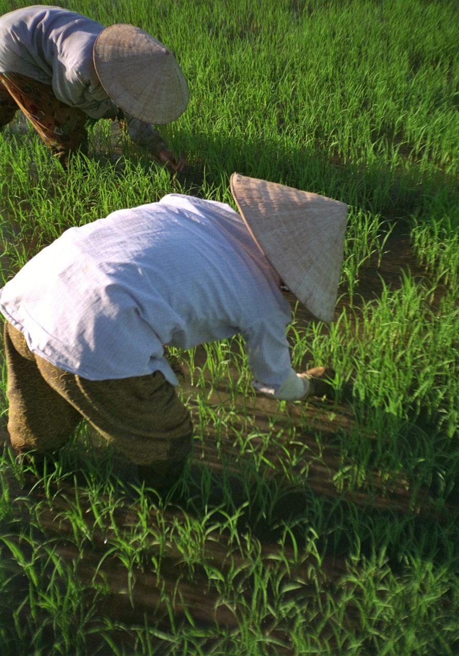 Vietnamese Farmers Working At Rice Paddy