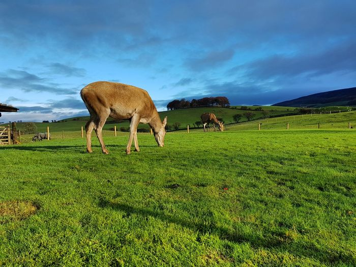 Grass Green Color Beauty In Nature Cloud - Sky Nature Sky No People Outdoors Mammal Animal Themes Day Deersighting Deer In My Yard Cumbria Cumbrian Fells Travel Nature Photography Nature_collection Beauty In Nature