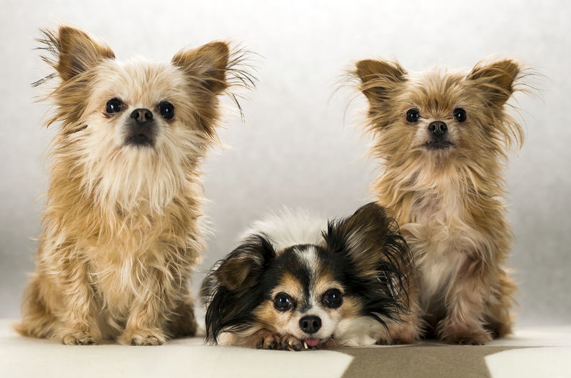 Animal Animal Themes Cavalier King Charles Spaniel Cute Dog Domestic Animals Looking At Camera Mammal Pets Portrait Puppy Three Animals Togetherness Yorkshire Young Animal