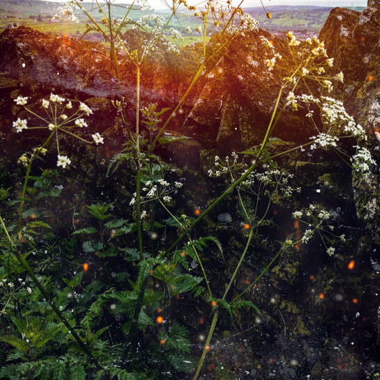 Countryside Country Life Wildflower Hedgerow Silent Moment Emerging Quiet Places Cowparsley Country Walks Peaceful Sunset Drystonewalls Eyemnaturelover Postprocessed Experimental Photography Experimental Edit Tree Sky Close-up Plant Plant Life