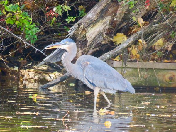 Blue heron wading in the water birds of EyeEm close up EyeEm nature lover outdoors