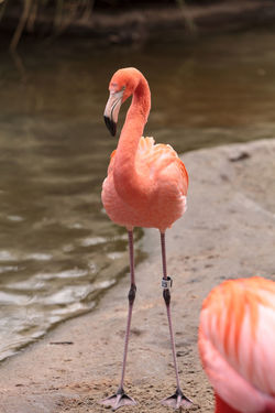 Pink Caribbean flamingo, Phoenicopterus ruber, in the middle of flock flamingos during breeding season. Animal Themes Animals In The Wild Bird Caribbean Flamingos Day Feather  Flamingo Flamingo Long Neck  Nature No People Outdoors Phoenicopterus Ruber Pink Flamingo Tropical Bird Water