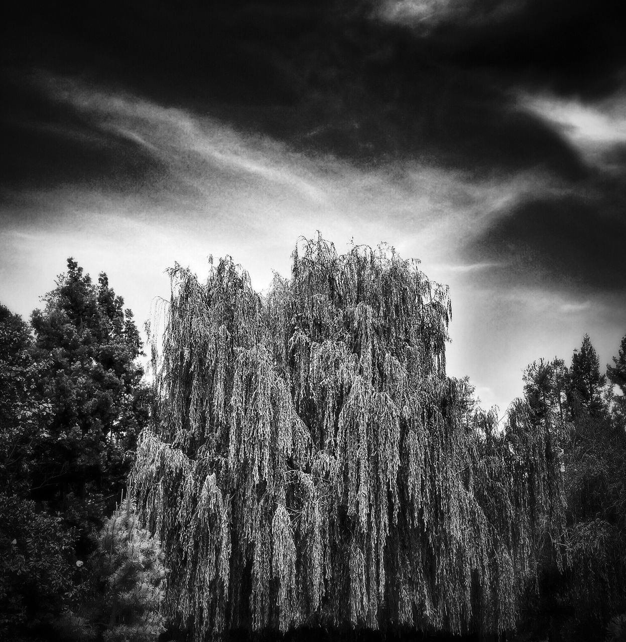 Willow tree in black and white