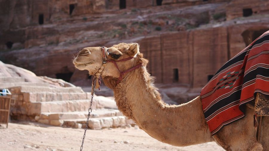 Camel Against Built Structure