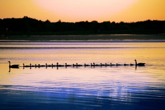 21 ducks out for evening swim. Animal Wildlife Animals In The Wild Bird Day Flock Of Birds Lake Mike Stouffer Nature No People Outdoors Reflection Scenics Silhouette Sky Sunset TheSixthLens Tranquil Scene Tranquility Water The Great Outdoors - 2017 EyeEm Awards