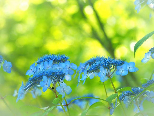 優しい夢を… 山紫陽花 あじさい Flower Collection EyeEm Nature Lover EyeEm Best Shots 日だまり EyeEm Gallery Eyemphotography My Point Of View Beauty In Nature EyeEm Best Shots - Nature