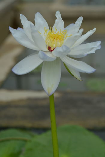 Lotus Flower Fragility Petal Flower Head Beauty In Nature Nature Close-up Freshness Blossom Outdoors Water Lily Springtime Lotus Water Lily Focus On Foreground Day Plant Stamen No People Water Growth