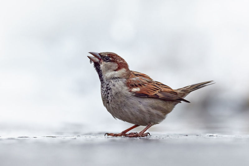 Close-up of sparrow on land