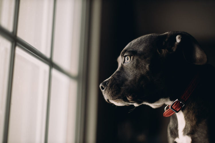 Side profile of pitbull looking out window.