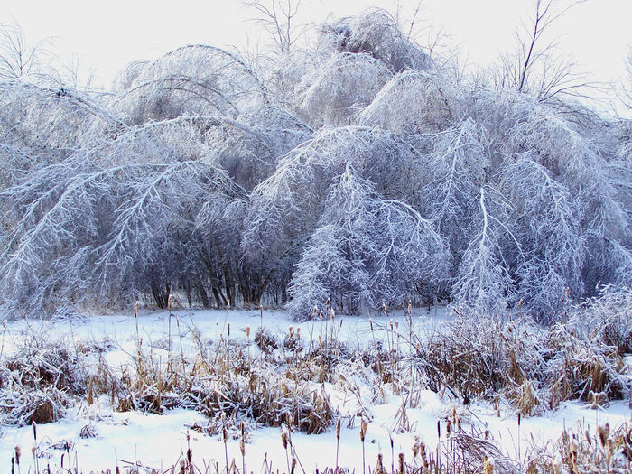 The afternath of heavy freezing rain, bending trees under the weight of ice. Freezing Rain Beauty Bare Tree Beauty In Nature Cold Cold Temperature Day Freezing Rain Frozen Landscape Nature No People Outdoors Scenics Sky Snow Tranquil Scene Tranquility Tree White Winter