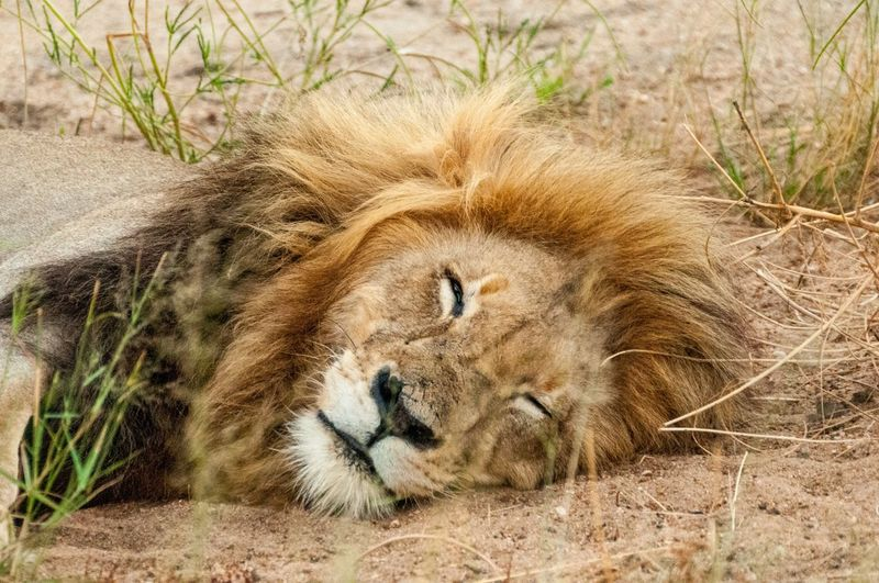 SO tired Lion