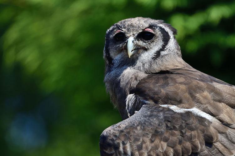 Portrait of a verreauxs eagle owl