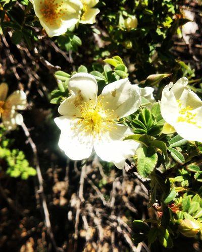 The Silk Rose