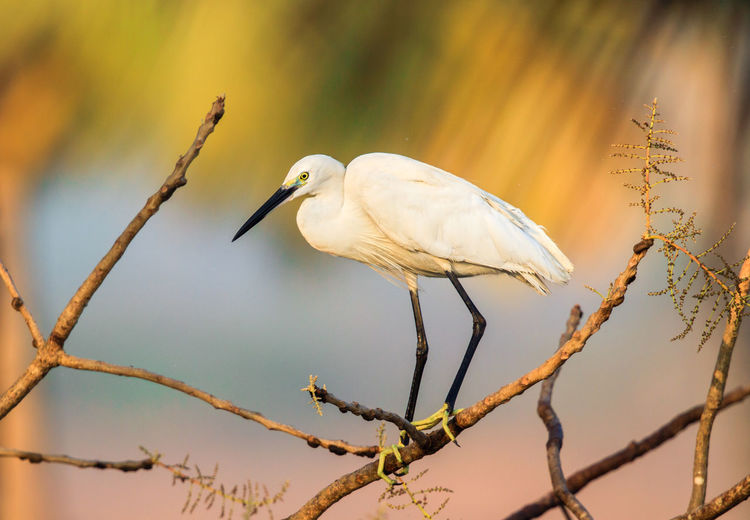 Little Egret Perching On Branch