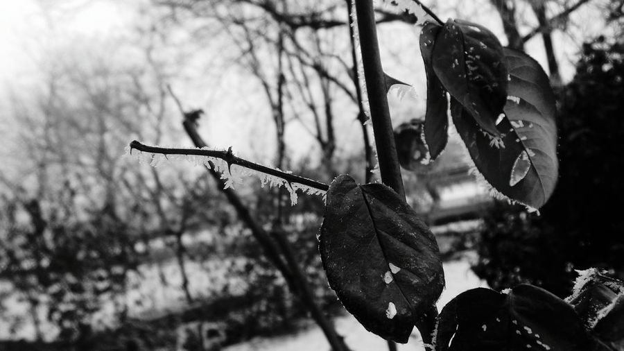 Nature Focus On Foreground Branch No People Growth Close-up Winter Outdoors Plant Cold Temperature Beauty In Nature Macro Beauty Leaf Roses, Flowers, Nature, Garden, Bouquet, Love, Dried Flowers Macro_collection Backgrounds Full Frame Snow Textures And Surfaces Black And White Collection  Abstractions In BlackandWhite Black And White Collection  Ephemeral Flowers,Plants & Garden