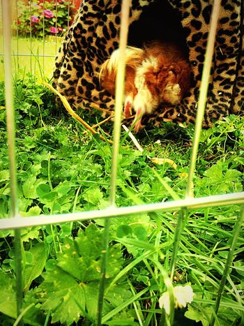 Run Away Guinea Pig Background Flowers Grass Cage Confinement Happy Weeds Warm Fur Love