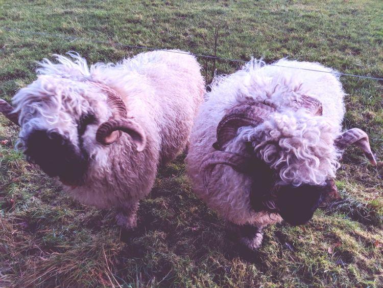 Valais Blacknose Sheep Google Pixel 2 Wool Horns Field Sheep Close-up Mammal