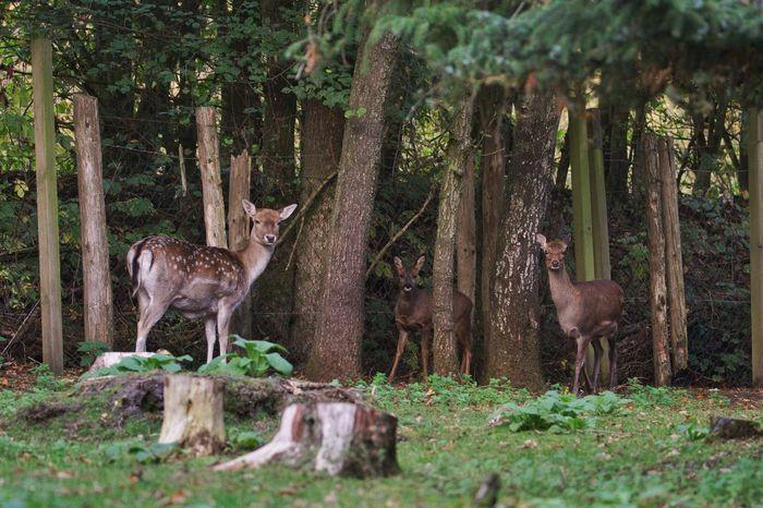 drei auf einen Streich 😍 Wildtierauffangstation Damwild Sika Deer Reh Animal Themes Animal Mammal Animal Wildlife Animals In The Wild Tree Plant Beauty In Nature Land Nature Group Of Animals