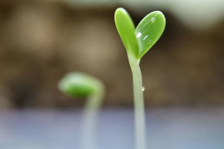 Sprouting Leaves of flowers Flower Sprout Sprouting Sprouts Sprouts New Beauty In Nature Close-up Day Flower Flower Head Focus On Foreground Fragility Freshness Green Color Growth Nature No People Outdoors Plant Sprout Sprouted Sprouting Leaves Sprouting Seeds Sprouting Veggies Sprouts 🌱 Sprout🌱