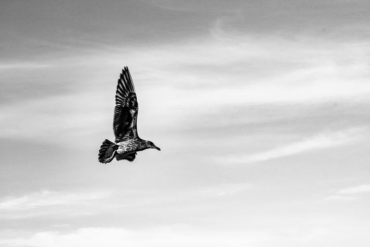 Animals In The Wild Bird Flying Animal Wildlife Day One Animal Spread Wings Sky Outdoors Animal Themes Cloud - Sky Mid-air Bird Of Prey Nature Full Length No People Black And White Nature Black And White Collection  Blackandwhitephotography Black And White Photography Black And White