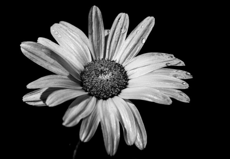 Black And White Blackandwhite Blackandwhite Photography Naturephotography Spring Spring Flowers Flower Head Black Background Flower Petal Poppy Pollen Close-up Plant In Bloom Daisy Gerbera Daisy Single Flower Botany Blossom Plant Life Blooming