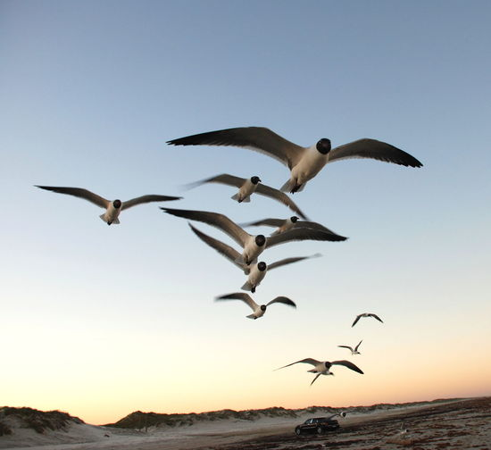 They wanted my Doritos. Gull Gulls Gulls In Flight Laughing Gull Laughing GullsBirds FlyingBirds In Flight Flight Flying Wings Wingspan Beach Sky Gulf Coast Port Aransas Port Aransas Texas