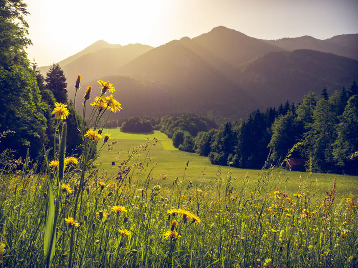Blooming herbs in a field with mountains of the bavarian alps in the background with the peack of Wallberg mountain. Scharling, Bavaria, Germany, June 2019 Germany Tergernsee Wallberg Beauty In Nature Plant Environment Tranquility Landscape Growth Scenics - Nature Tranquil Scene Land Field Nature Sky Mountain No People Outdoors Bavaira Bavarian Alps Bavarian Landscape Herbs Blooming Rural Scene Bright Flowering Plant Flower Yellow Mountain Range Non-urban Scene