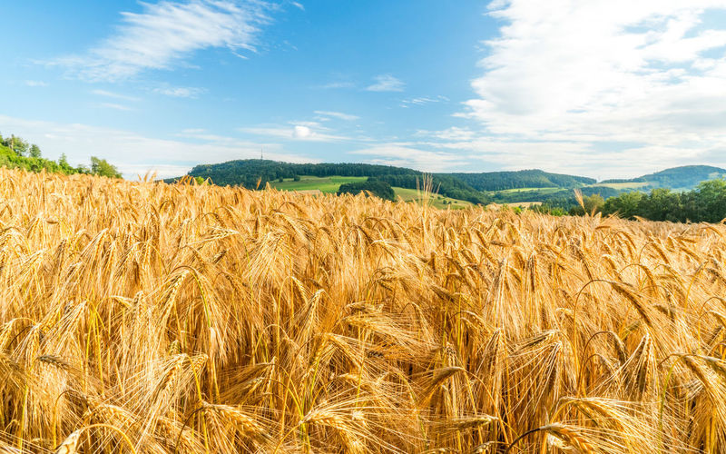 wheat field on a sunny day in switzerland Wheat Wheat Field Agriculture Beauty In Nature Cereal Plant Cloud - Sky Crop  Day Environment Farm Field Food Growth Land Landscape Nature No People Oat - Crop Outdoors Plant Ripe Rural Scene Scenics - Nature Sky Summer