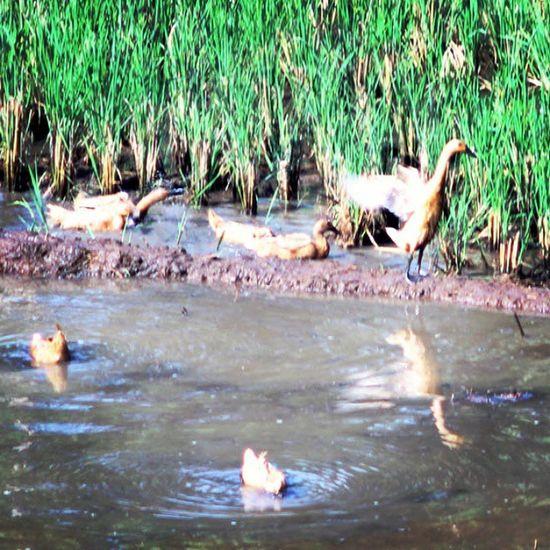 Wek..wek... wek... Ducks Duck Meri Bebek swimming green_green animals