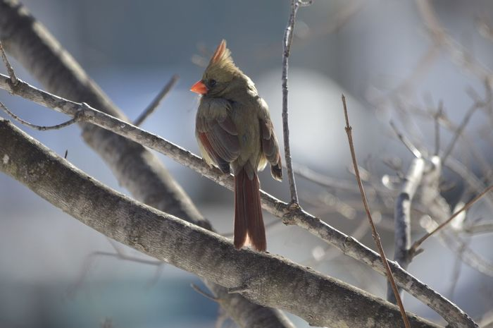 Today is too cold (15*)so I just shot some of the birds in the yard. Here's a little female cardinal. Strange she didn't fly away when I walked close. Pretty little thing though isn't she. EyeEm Birds Wildlife & Nature Birds ? OpenEdit
