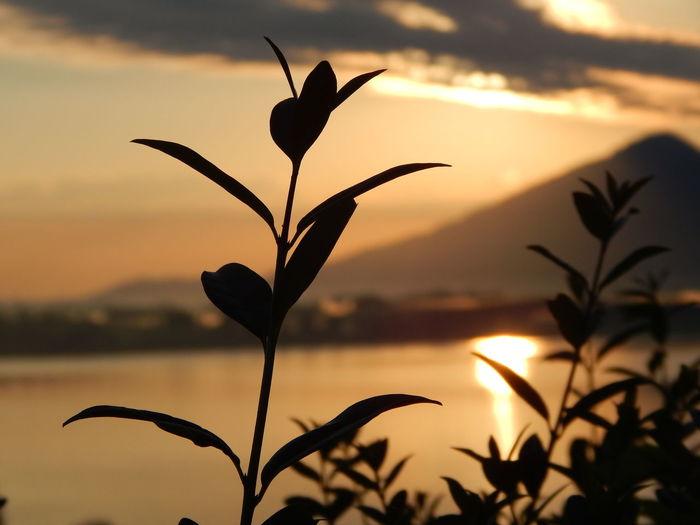Deutschland Flower Head Focus On Foreground Forggensee Füssen Germany Lake Mountain Nature Plant Silhouette Sky Sun Sunrise Water