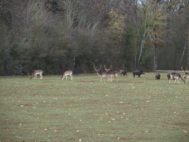 Week end en Sologne Deer Deers Forest Nature Sologne