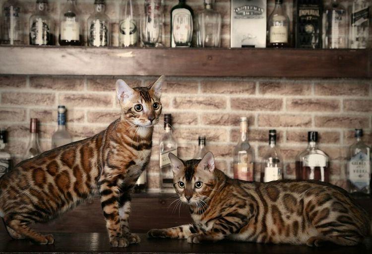 Pets My Cats Bengal Cat Cute Pets EyeEm Indonesia Petstagram EyeEm Animal Lover Pet Photography  Animal Meow