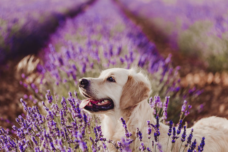 Dog standing amidst lavender flowers on field